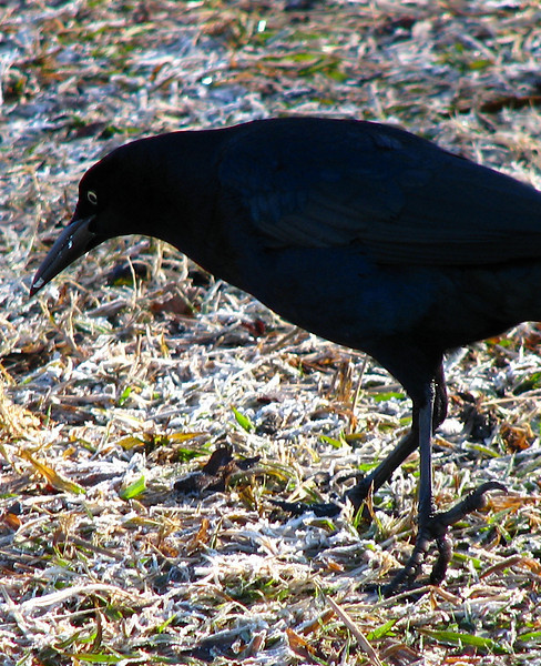 A male great-tailed grackle (Quiscalus mexicanus) scours the frozen grass for breakfast