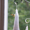 (112) Golden Finches at Gen's