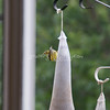 (110) Golden Finches at Gen's
