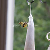 (117) Golden Finches at Gen's