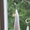 (109) Golden Finches at Gen's