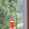 (106) Golden Finches at Gen's