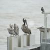 (145) Galveston Island Ferry Ride - Birds