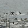 (152) Galveston Island Ferry Ride - Birds
