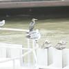 (134) Galveston Island Ferry Ride - Birds