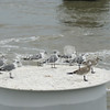 (136) Galveston Island Ferry Ride - Birds