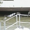 (135) Galveston Island Ferry Ride - Birds