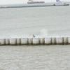 (133) Galveston Island Ferry Ride - Birds