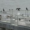 (153) Galveston Island Ferry Ride - Birds