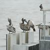(146) Galveston Island Ferry Ride - Birds