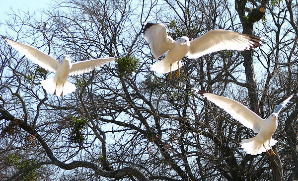 Three adult ring-billed gulls (Larus delawarensis) flying in formation