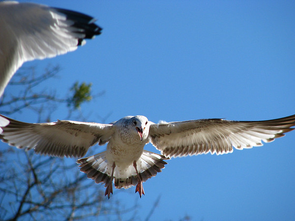 A juvenile ring-billed gull (Larus delawarensis) approaching with mouth open