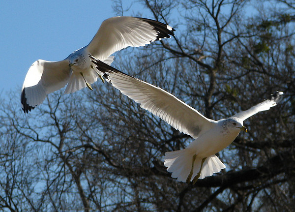 Two adult ring-billed gulls (Larus delawarensis) flying past each other