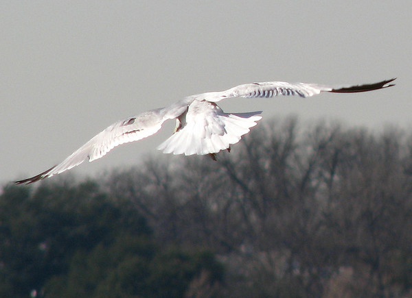 An adult ring-billed gull (Larus delawarensis) flying away over the lake