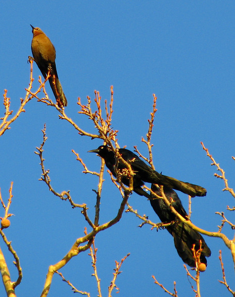 A female great-tailed grackle (Quiscalus mexicanus) higher in the tree shows she has the same marvelous tail, albeit attached to a brown body