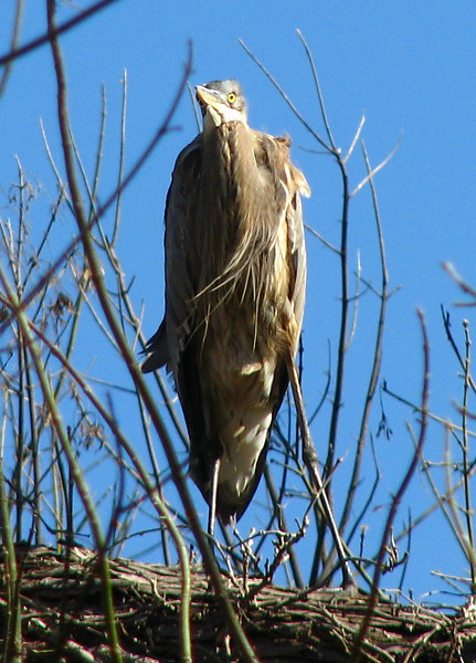 A great blue heron (Ardea herodias) perched high in dense woodlands surrounding White Rock Lake