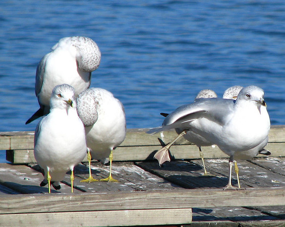 Ring-billed gulls (Larus delawarensis) preening and sunbathing on a pier (20080202_01679)