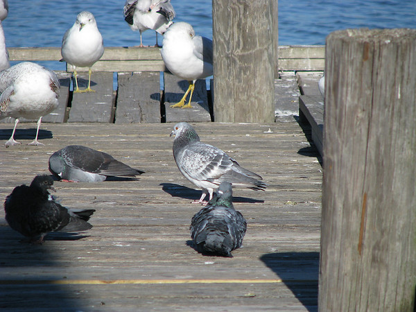 Rock doves (a.k.a. common pigeons; Columba livia) and ring-billed gulls (Larus delawarensis) milling about a pier in morning sunlight