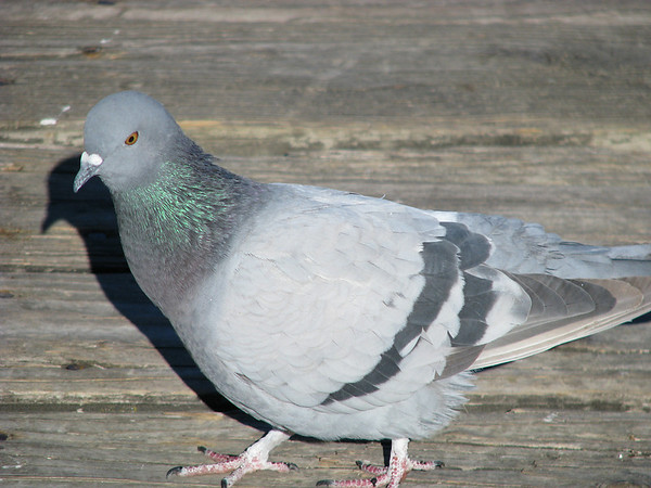 A close-up of a rock dove (a.k.a. common pigeon; Columba livia) standing in bright morning sunlight