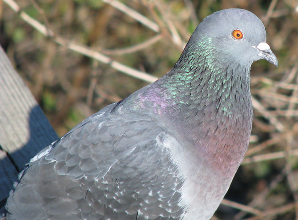 A close-up of a rock dove (a.k.a. common pigeon; Columba livia)