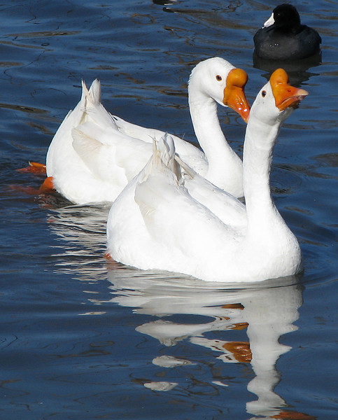 Two white Chinese geese (a.k.a. swan geese; Anser cygnoides) and an American coot (Fulica americana) swimming toward me