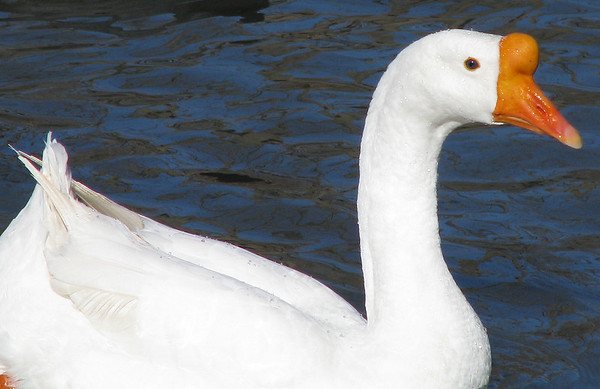 A white Chinese goose (a.k.a. swan goose; Anser cygnoides) swimming by me