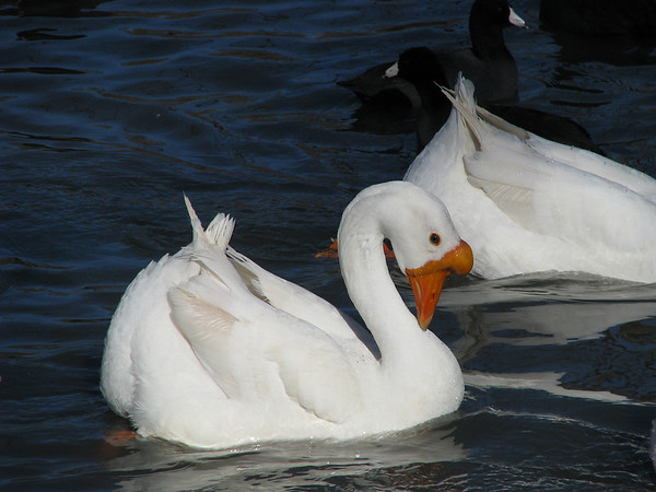A white Chinese goose (a.k.a. swan goose; Anser cygnoides) swimming with head bowed and tail up as another goose and an American coot (Fulica americana) swim in the background