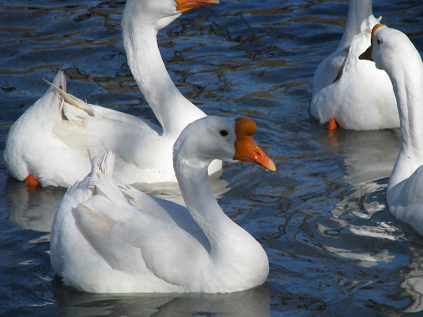 Several white Chinese geese (a.k.a. swan geese; Anser cygnoides) swimming near shore