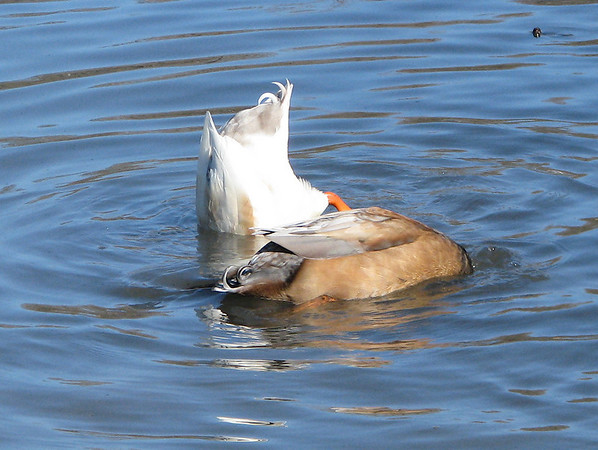 Two unidentified ducks dabbling near the shore of White Rock Lake