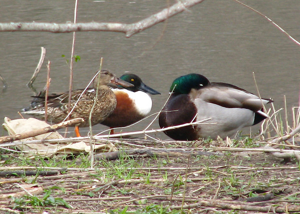 A mated pair of norther shovelers (Anas clypeata) sleeping near a male mallard (Anas platyrhynchos) also taking a nap (20080314_02693)