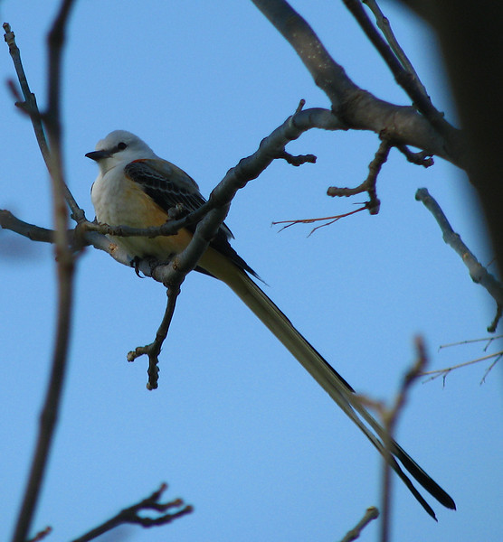 A scissor-tailed flycatcher (Tyrannus forficatus) perched in a tree (20080405_02904)