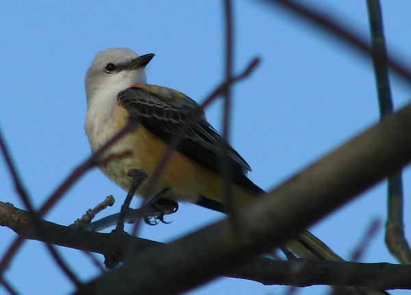 A scissor-tailed flycatcher (Tyrannus forficatus) perched in a tree (20080405_02907)