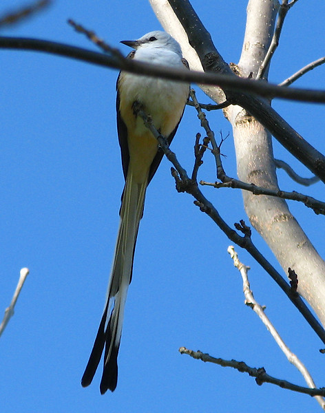 A scissor-tailed flycatcher (Tyrannus forficatus) perched in a tree (20080405_02911)