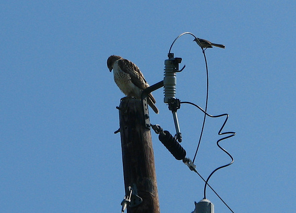 A juvenile red-tailed hawk (Buteo jamaicensis) perched atop an electrical pole while a northern mockingbird (Mimus polyglottos) taunts it from nearby (20080405_03052)