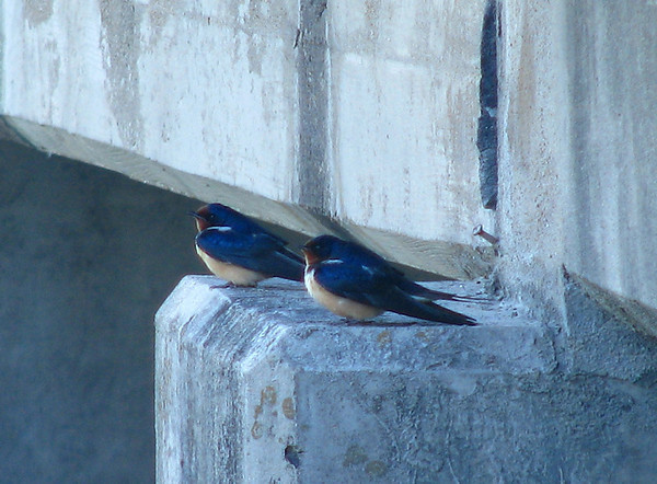 Two barn swallows (Hirundo rustica) resting on the bridge over Dixon Branch (20080412_03193)
