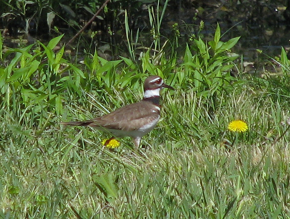 A killdeer (Charadrius vociferus) dashing across the floodplain in search of breakfast (20080412_03241)