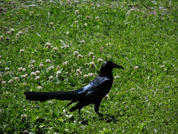 A male great-tailed grackle (Quiscalus mexicanus) striding through white clover as he hunts for food (20080412_03343)