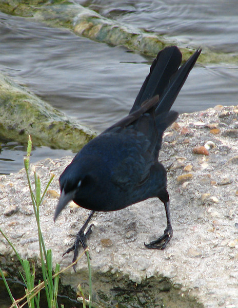 A male great-tailed grackle (Quiscalus mexicanus) with a deformed foot (20080420_04240)