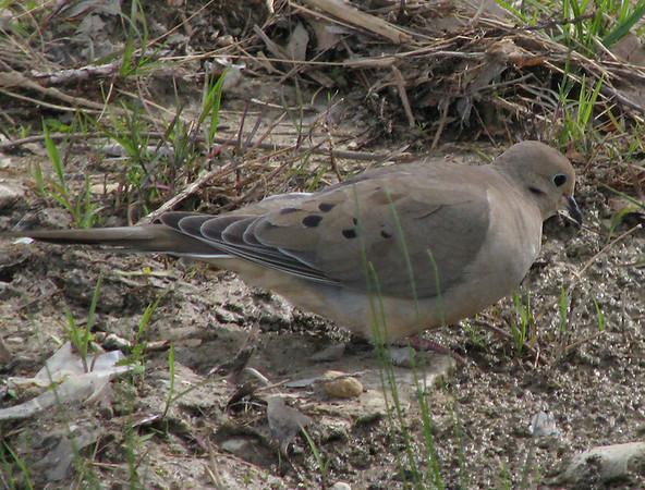 A mourning dove (Zenaida macroura) crouching near a puddle (20080420_04273)