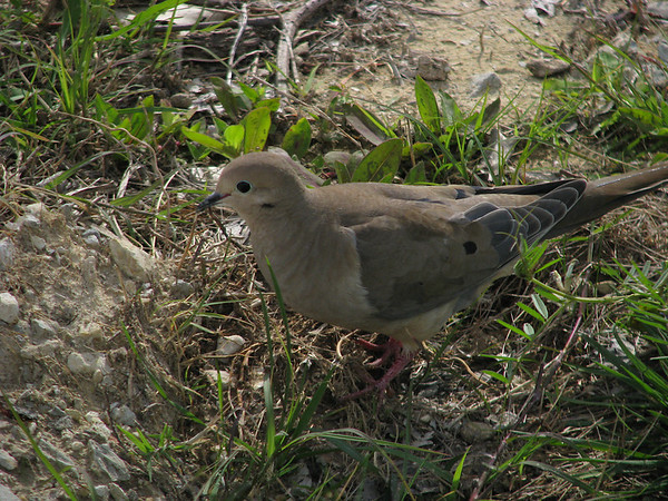 A mourning dove (Zenaida macroura) standing in grass and sand (20080420_04282)