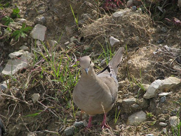 A mourning dove (Zenaida macroura) walking toward me (20080420_04285)