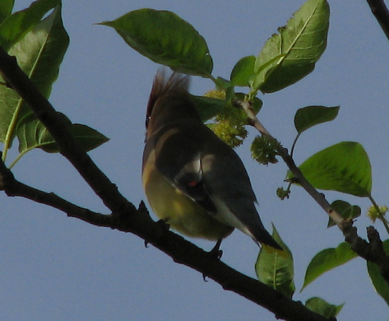 A cedar waxwing (Bombycilla cedrorum) perched on a branch (20080426_04651)