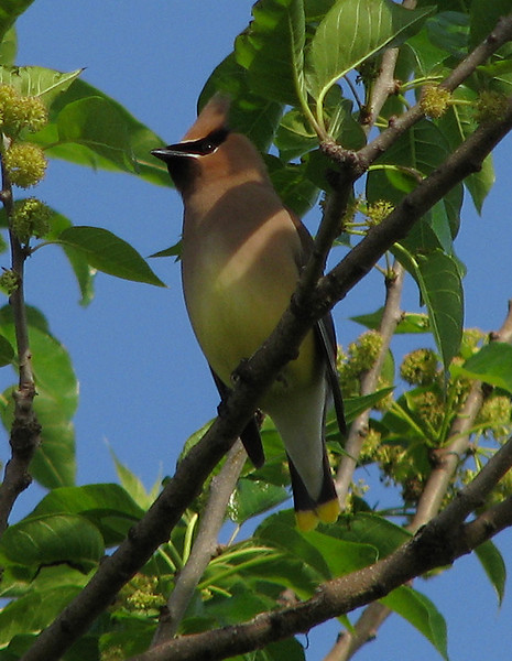 A cedar waxwing (Bombycilla cedrorum) perched on a branch (20080426_04652)