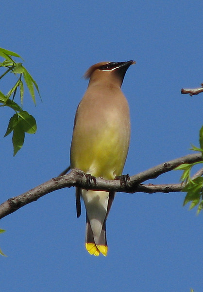 A cedar waxwing (Bombycilla cedrorum) perched on a branch (20080426_04656)