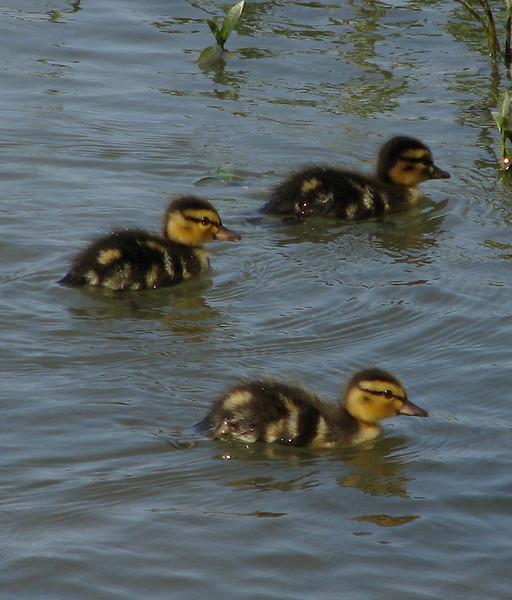 Three mallard ducklings (Anas platyrhynchos) swimming along near shore (20080426_04809)