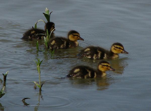Four mallard ducklings (Anas platyrhynchos) paddling along near shore (20080426_04822)