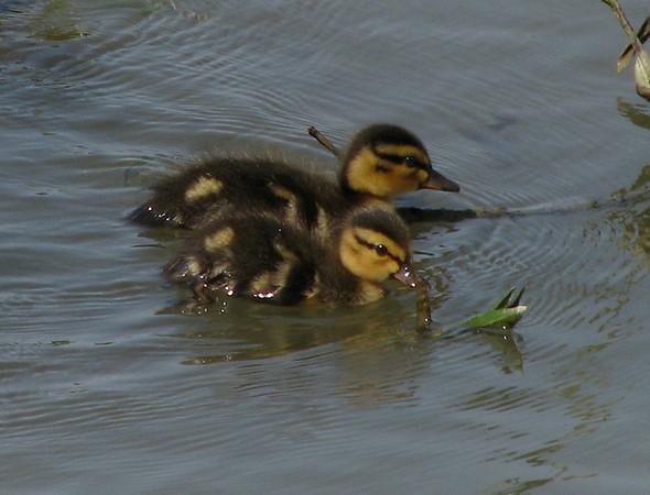Two mallard ducklings (Anas platyrhynchos) swimming near shore (20080426_04832)