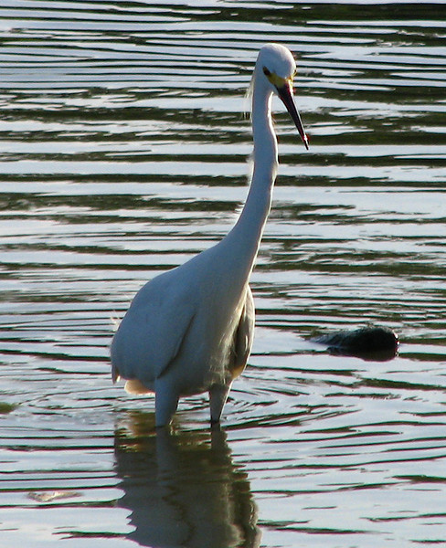 A snowy egret (Egretta thula) standing in the shallows at White Rock Lake (20080614_06590)