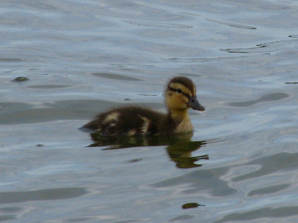 A mallard duckling (Anas platyrhynchos) swimming alone far out on the lake (20080614_06724)