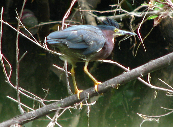 A green heron (Butorides virescens) perched on a branch (20080629_08329)